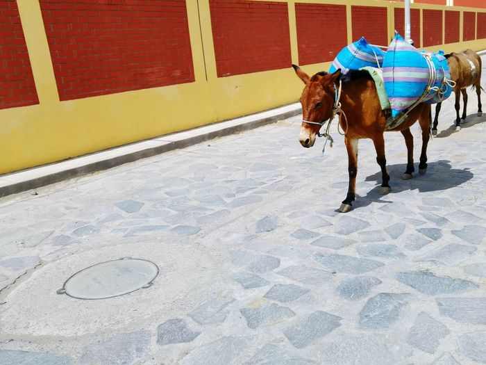 Strong Domestic Animals Animal Themes One Animal Transportation Horsedrawn Horse Cart Mammal Day Outdoors People Adult Mules Carrying first eyeem photo Peru
