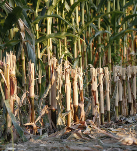 Maisfeld Corn Cornfield Day Growth Mais Maisfeld Nature No People Outdoors Plant