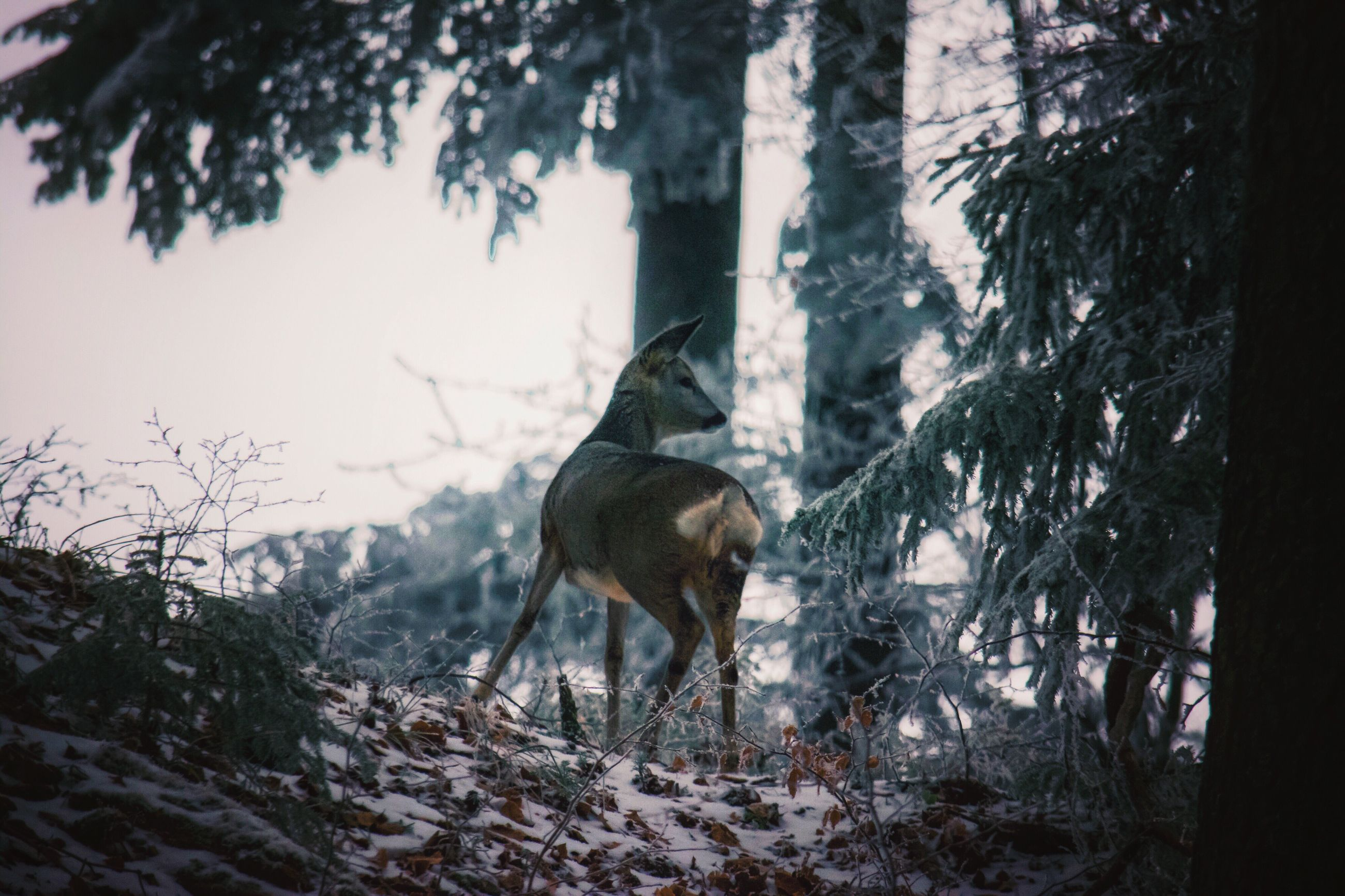 tree, animal themes, nature, one animal, mammal, winter, no people, snow, outdoors, tree trunk, livestock, bird, field, domestic animals, day, cold temperature, animals in the wild, landscape, sky, beauty in nature, branch, moose, antler