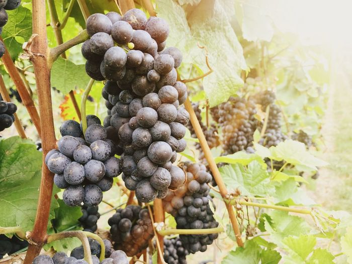 Vine - Plant Growth Plant Food And Drink Fruit Grape Food Vineyard Freshness Nature Agriculture Plant Part Winemaking Close-up Beauty In Nature Day No People