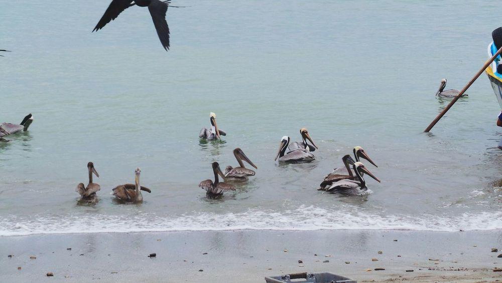 Pelicanos Mi Lindo Ecuador Puerto López Ecuador♥ Mar Aves Beautiful Manabi Ecuador Playa Beach