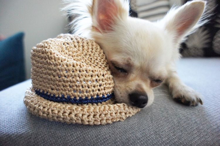 Louis♡ Good Cool Family Mydog♡ Mydog Lovely Summer Animal First Eyeem Photo Cute Love Chihuahua Dogs Japan Dog Japan Photography Hat Hatlove Sleep 犬