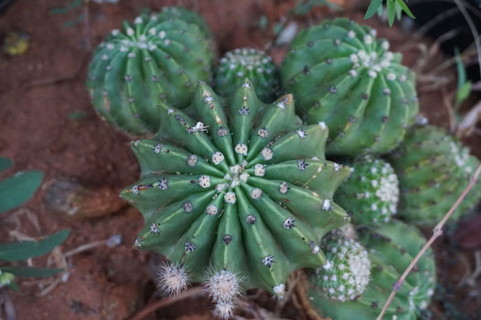 Spiky Yet Pretty Alpha Photography Beauty In Nature Cactus Close-up Day Green Color Growth Leaf Nature No People Outdoors Plant Sony A6000 Sony Lover Sony Photography Spiked Spiky Yet Pretty Succulent Plant