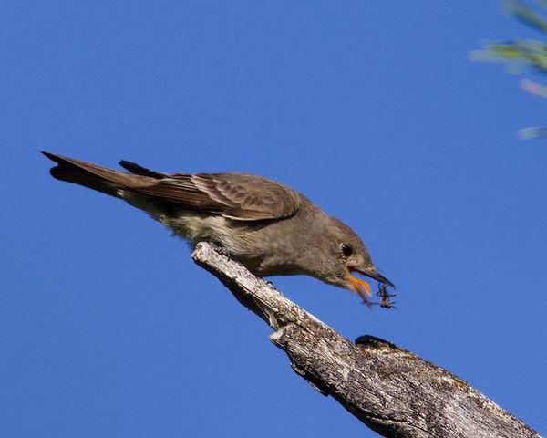 Western Wood Peewee catching an insect in Island Park, Idaho Peewee Birds