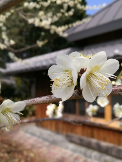Plum Ume EyeEm Selects Flower Fragility Flower Head Blossom White Color Petal Close-up No People Springtime Nature Freshness Day Beauty In Nature Growth Tree Outdoors Branch