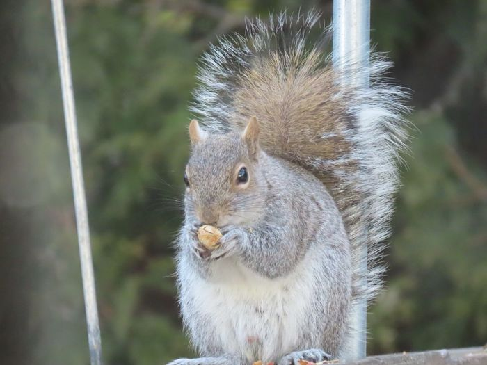 Grey squirrel closeup perched on a wooden railing eating a peanut animal themes focus on the foreground green leafy background Animal Wildlife One Animal Rodent No People