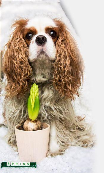 Dogslife Charlie The Cav Cavalier King Charles Spaniel Cavlife Dog Spring 🌷🐶