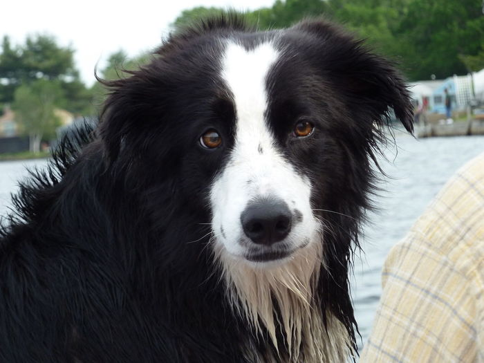 Wet Beard Border Collie Dog Beard Dog Dog Head Shot Focus On Foreground Handsome Dog Looking At Camera Pets Portrait Wet Beard