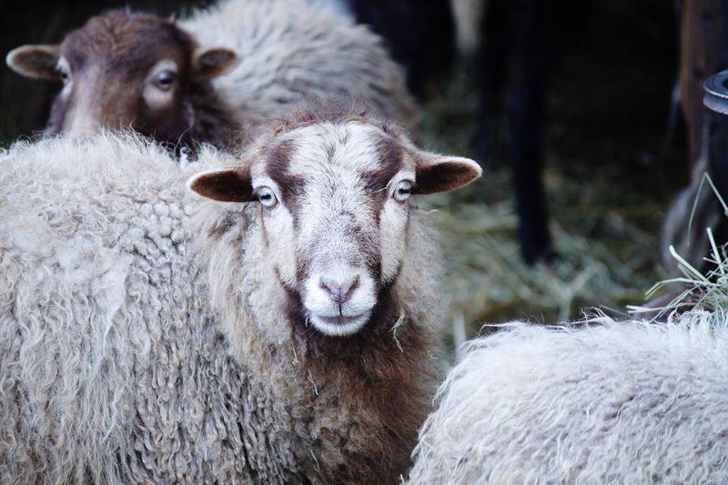 Portrait of sheep