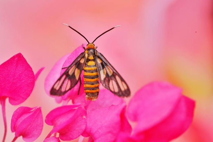 Tiger moth Flower Pink Color Insect Petal Animals In The Wild Animal Themes Beauty In Nature One Animal Nature Fragility Animal Wildlife Close-up No People Flower Head Freshness Outdoors Animals In The Wild Macro Nature Tiger Moth
