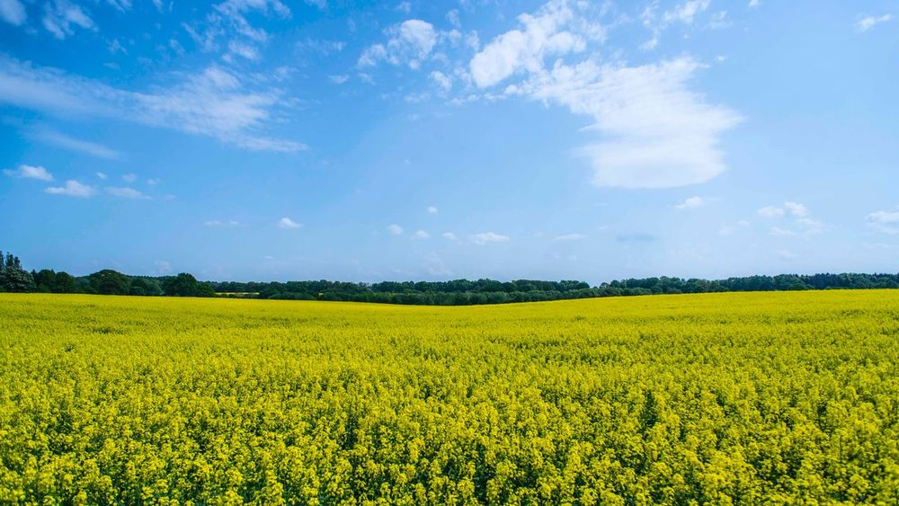 Field Landscape Beauty In Nature Land Sky Plant Yellow Growth Tranquil Scene Environment Tranquility Flower Scenics - Nature Cloud - Sky Rural Scene Agriculture Crop  Farm Nature Flowering Plant
