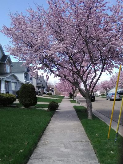 springtime 1 1 Point Perspective Pink Flowers Tree Flower Branch Springtime Blossom Botany Sky Grass Architecture Cherry Blossom Walkway Treelined