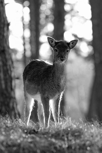 Deer Backlit Monochrome Blackandwhite Black & White Nature_collection EyeEm Masterclass