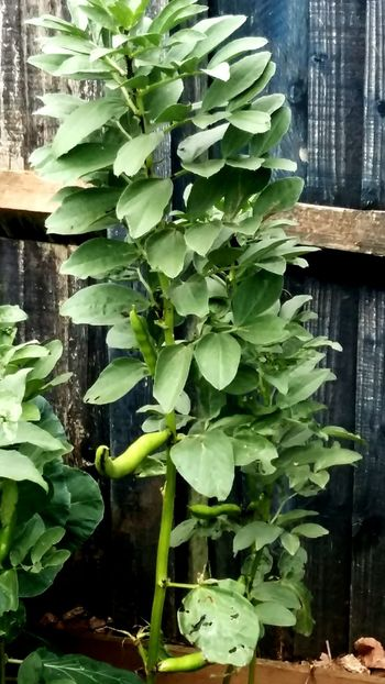 Bean Plant Growth Leaf Green Color Plant Day No People Nature Agriculture Freshness Indoors  Healthy Eating Close-up Water Beauty In Nature Greenhouse