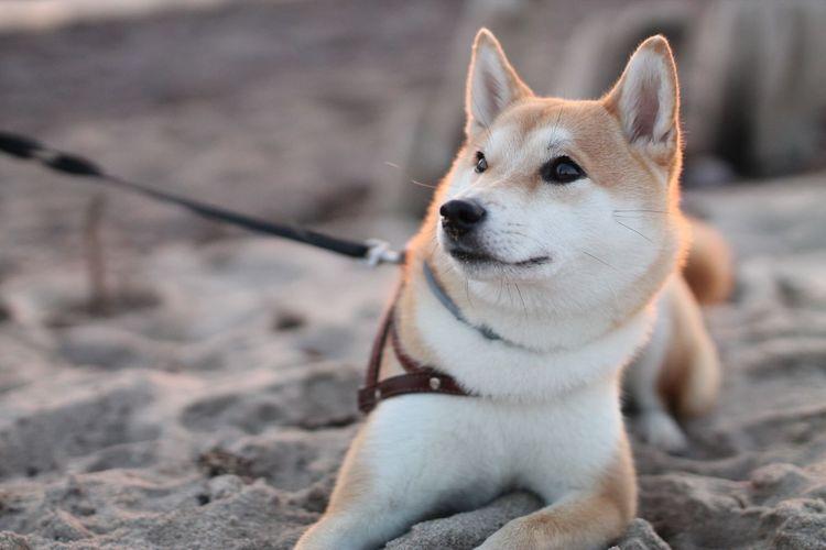 Husky dog sitting on sand at beach