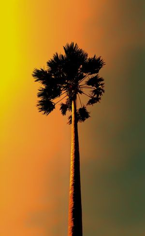 Hight and alone. EyeEm Selects Palm Tree Tree Sunset Silhouette Back Lit Tree Trunk Sky Dusk Vacations Outdoors Tranquility Clear Sky Nature Tropical Climate Growth No People Scenics Beauty In Nature Day Summer