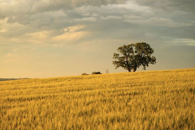 Field Plant Land Landscape Environment Beauty In Nature Sky Growth Tranquil Scene Tree Tranquility Scenics - Nature Rural Scene Agriculture Cloud - Sky Crop  Nature Farm Yellow No People