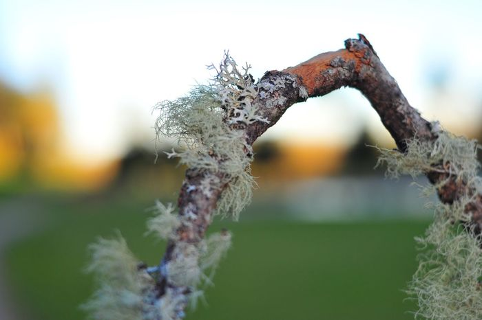 Close-up Day Focus On Foreground Fragility Lichen On A Tree Nature No People Outdoors