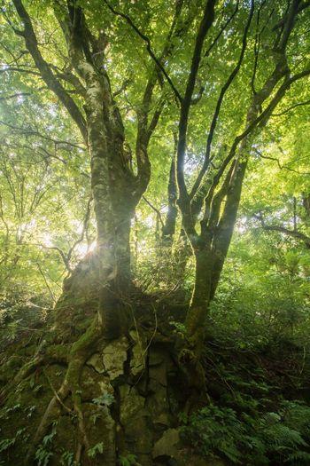 otito39 木谷沢渓流 大山 鳥取県 Japan Forest Tree First Eyeem Photo