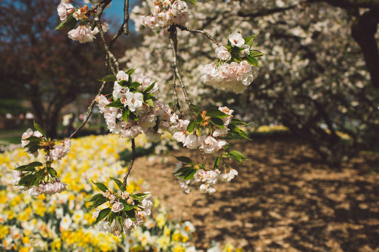 Beauty In Nature Blossom Cherry Blossom Cherry Tree Close-up Day Flower Flower Head Flowering Plant Focus On Foreground Fragility Freshness Growth Nature No People Outdoors Petal Plant Selective Focus Spring Springtime Sunlight Tree Vulnerability