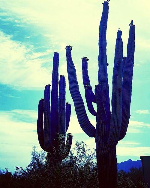 Arizona Landscape Arizona Desert Saguaro Cactus Sonoran Desert