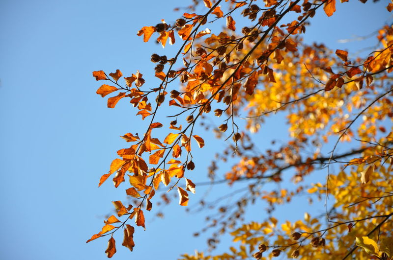 Low Angle View Of Autumn Tree Against Clear Blue Sky