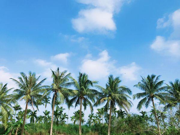Palm Tree Tree Sky Nature Beauty In Nature Cloud - Sky Outdoors