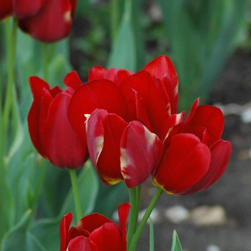 Triple Tulip red Kansas