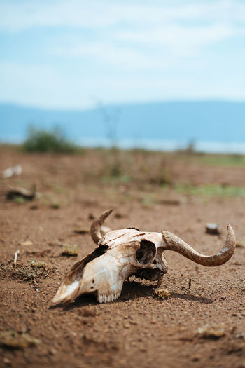View of animal skull on field
