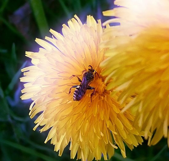 Insects Collection Yellow Flowers Beauty In Nature Garden Flowers Collecting Nectar Busy Insect Nature Nature_collection Close-up Paint The Town Yellow