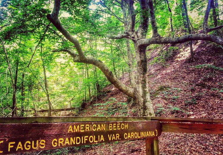 I love it when you get to the end of this trail is this big ole beech tree so much more beautiful in person.... Treegasmic Tuesday Hugging A Tree TreePorn EyeEm Nature Lover