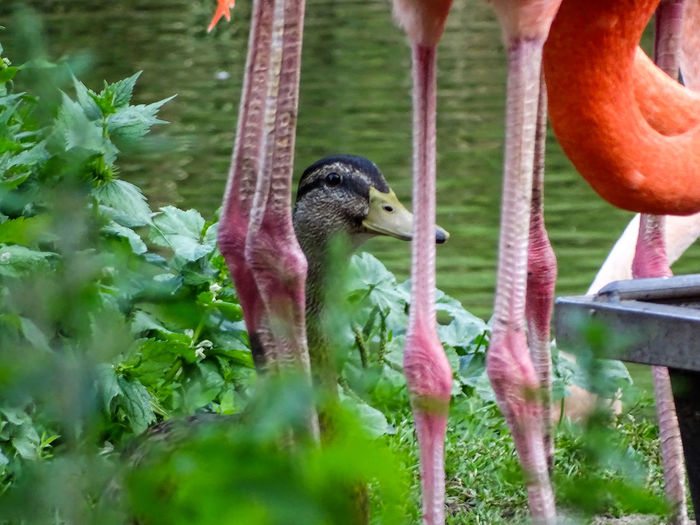 Animal Themes Animals In The Wild Between The Legs Bird Flamingo Legs Nature Partnership Waiting For Opportunity Wildlife