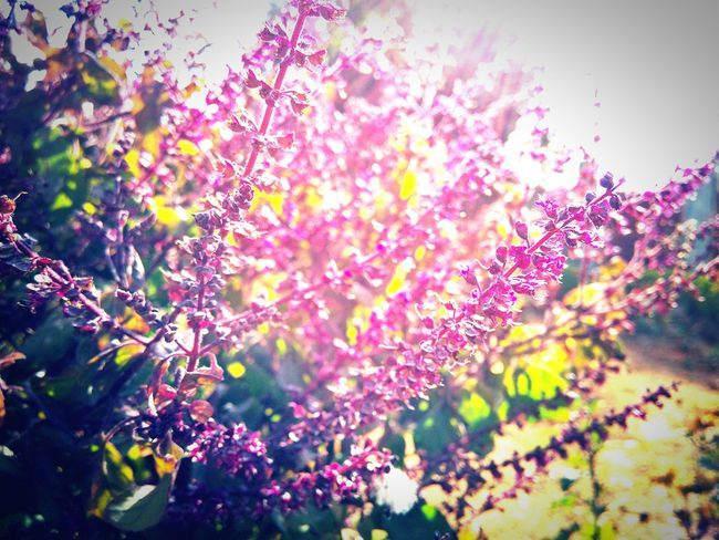 Tulsi plant close up Tulsi Plant Medicine Plant Great Order Great Smell Smellsgood Pink Flowers Quotes Happy Leaf Nature Nature Love Nature In The City Beautiful Beauty In Nature Multi Colored No People Nature Tree Growth Flower Outdoors Day Freshness Close-up Sky