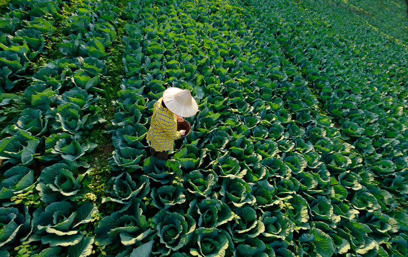 Female gardener hand giving chemical fertilizer to cabbage vegetable plant at the plantation