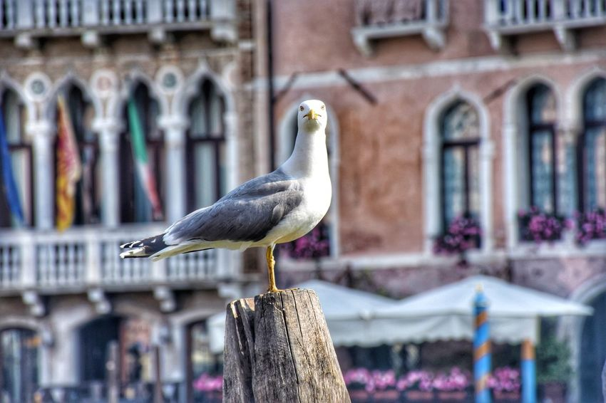 Venice Streetphotography Street Bird Perching City Animal Themes Close-up Architecture Building Exterior Sea Bird Pelican Cormorant  Water Bird