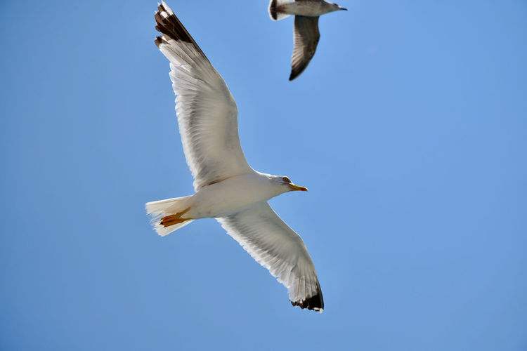Doves Animal Animal Themes Animal Wildlife Animals In The Wild Bird Blue Clear Sky Day Doves, Birds Flapping Flying Low Angle View Mid-air Motion Nature No People One Animal Seagull Searching Sky Spread Wings Vertebrate White Color