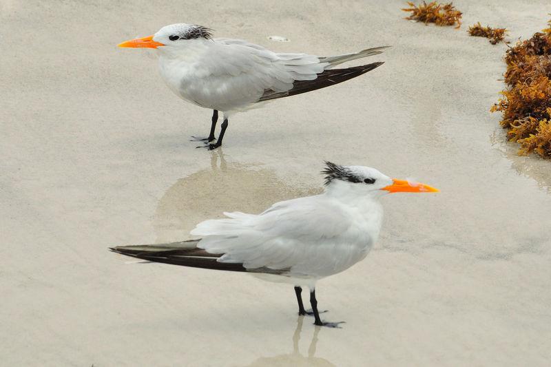 Animals In The Wild Beak Bird Florida Nature Nature No People Orange Beak Sea Bird Sea Swallow Shore Side View Tern Togetherness Water Bird Wildlife