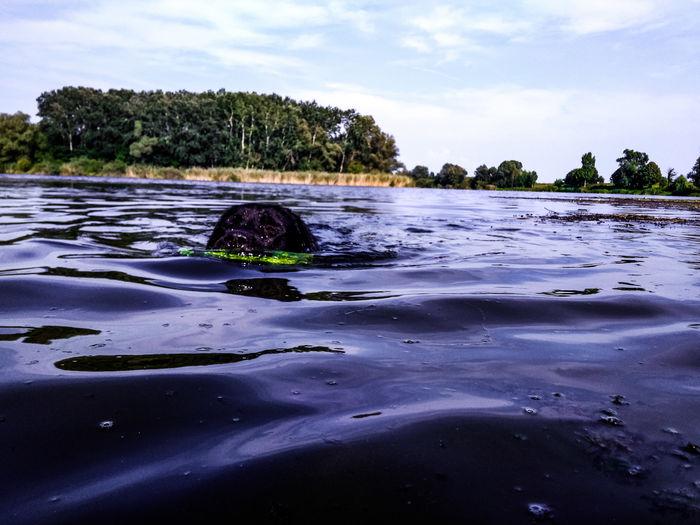 Dog Swimming Dog Lab Labrador Black Labrador Animals UnderSea Tree Low Tide Sea Beach Underwater Palm Tree Sand