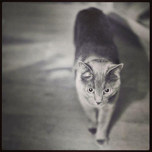 Субботний котэ Cat Instacat Catofftheday Kitty mood monochrome black white instamood 50 mm step
