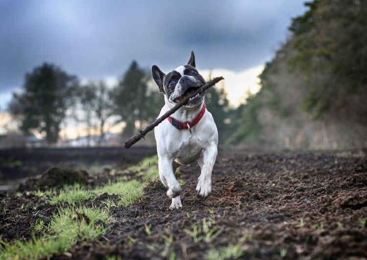 French bulldog carrying stick in mouth while running on field