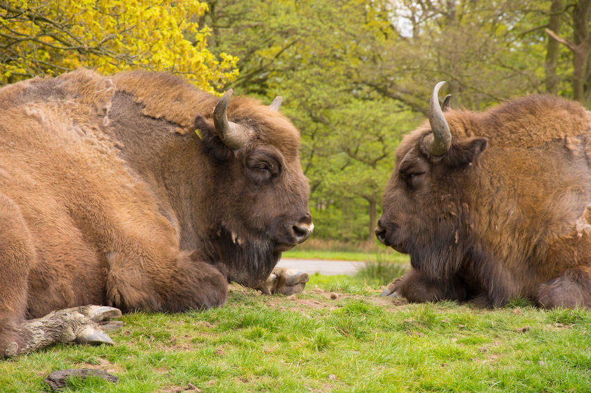 Animals Animals In Captivity Bison Day Green Outdoors Safari Zoo
