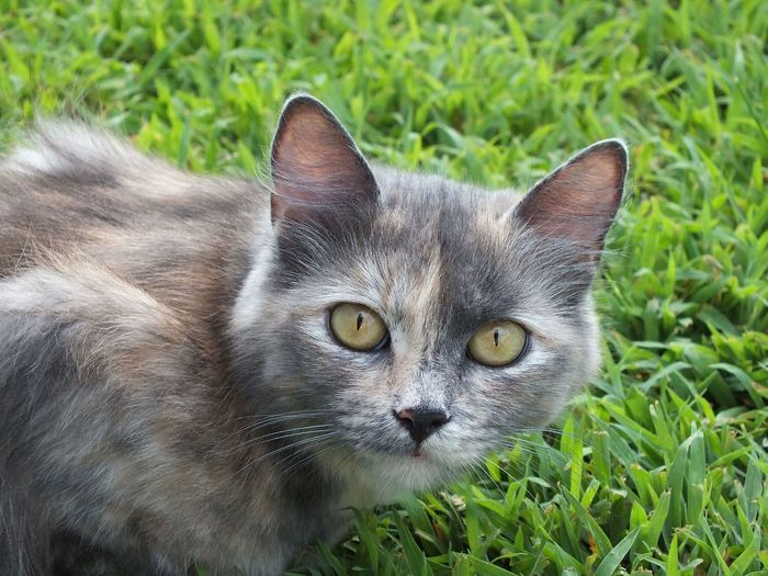 Animal Eye Animal Head  Blue Cream Tortie Cat Cat Lovers Cats Cats Eyes Cats Of EyeEm Cat♡ Close-up Domestic Animals Domestic Cat Feline Grass Gray Cat Green Color Kitten Kitty Kitty Cat Nature Outdoors Pets Portrait Tortoiseshell Cat