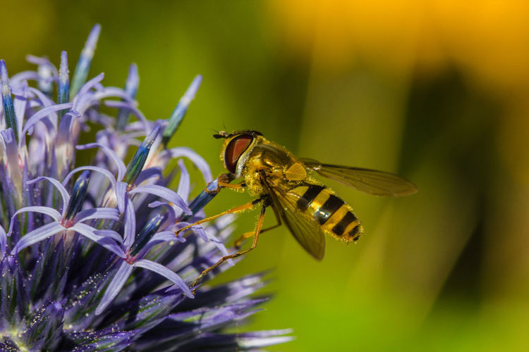 Hover fly on