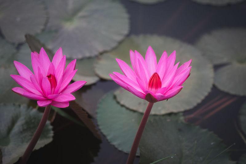 Close-up of pink lotus water lily in lake