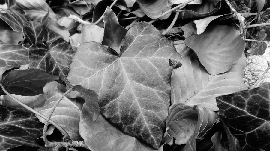 Leaf Nature Change Backgrounds Close-up No People Full Frame Outdoors Leaves Autumn Plant Fragility Beauty In Nature Fallen Leaves Ground Level Details Textures And Shapes Abstractions In BlackandWhite Abstract Nature Monochrome Blackandwhite Details Of Nature Macro World Macro Nature Background Photography Screensaver Shot