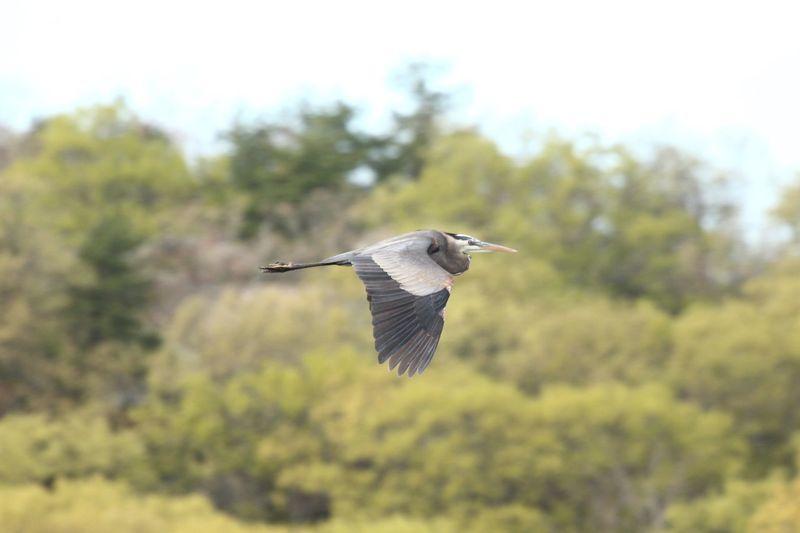 Heron In Flight Bird Animals In The Wild Vertebrate Animal Wildlife Animal Animal Themes One Animal