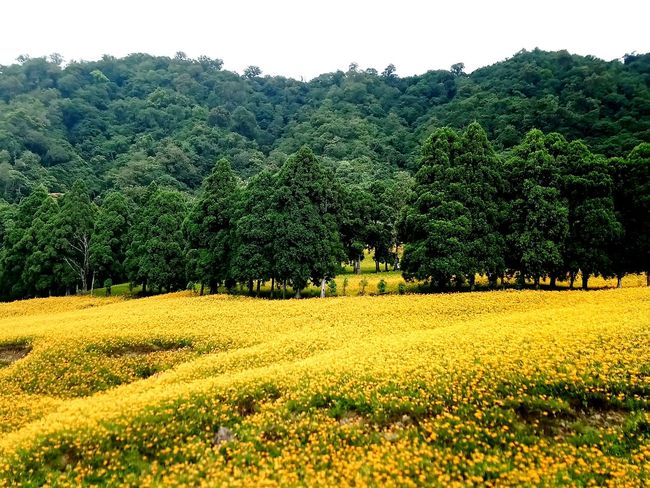 Tree Rural Scene Yellow Agriculture Flower Field Sky Plant Landscape