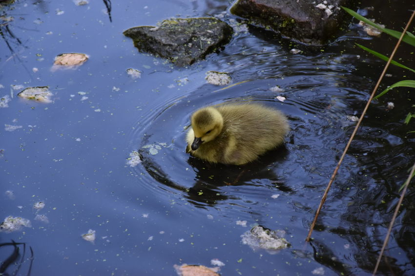 Animal Themes Animal Wildlife Animals In The Wild Bird Close-up Cygnet Day Duckling High Angle View Lake Nature No People One Animal Outdoors Rippled Swan Swimming Water Water Bird Waterfront Wildlife Young Animal Young Bird