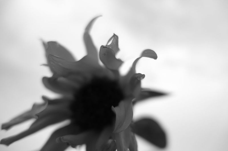 Korea Photos Sunflower Flowerporn Silhouette Blacknwhite Flowerpark Light And Shadow Streamzoofamily The Purist (no Edit, No Filter) Bnw Macro Beauty 43 Golden Moments Black And White Friday