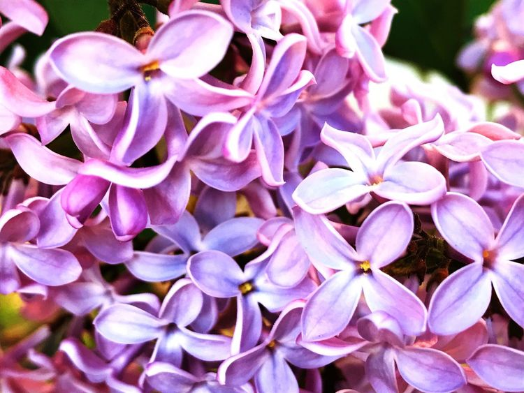Plant Lilac Flower Syringa Flower Petal Fragility Beauty In Nature Nature Flower Head Close-up No People Growth Outdoors Plant Freshness Day Blooming Springtime Spring Environment Lilac Blooming Bushes Nature Freshness Purple
